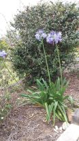 another purple flower - agapanthus in our garden.