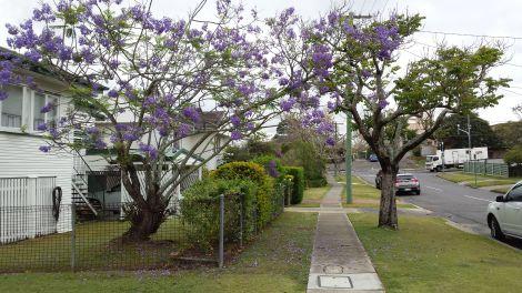 Another jacaranda tree