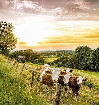 cows-3441672__340